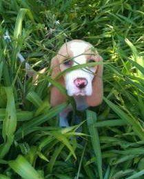 Beagle hiding in grass