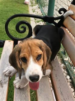 3 month old Beagle on bench