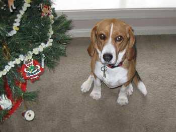 3 year old female Beagle