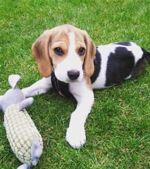 Beagle puppy outside in summer