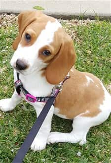 a-beagle-puppy-on-harness
