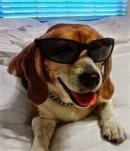 a-beagle-wearing-sunglasses