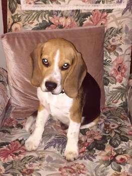 Beagle dog on a chair