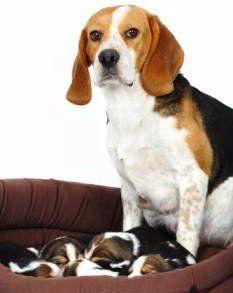 Beagle Pro Beagle Pregnancy
