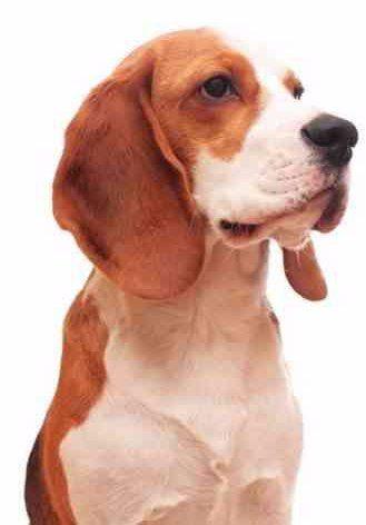adult Beagle profile