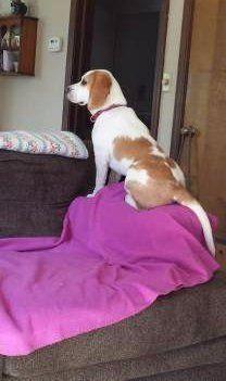 Beagle on sofa