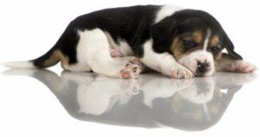 Price Of A Beagle How Much A Beagle Puppy Costs