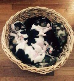 basket of Beagle puppy newborns