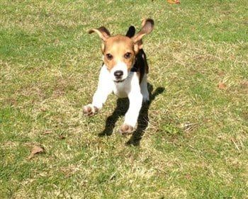 beagle-running-crazy