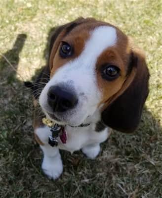 cute Beagle puppy outside