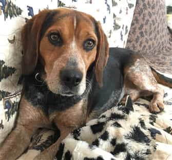 female-Beagle