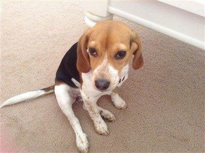 female-beagle-