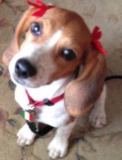 female Beagle with red bows