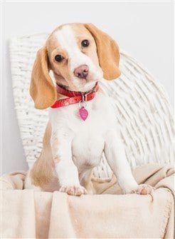 lemon-beagle