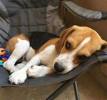 male Beagle, 11 months old, in chair
