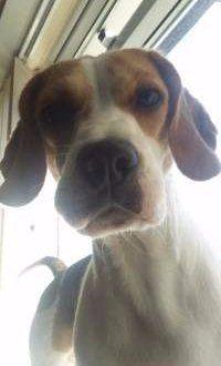 one year old Beagle - female