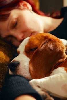 red and white Beagle dog coloring