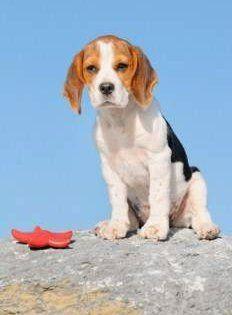Pocket Beagles Tiny And Miniature Beagle Dogs