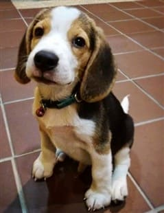 House Training Your Beagle Puppy