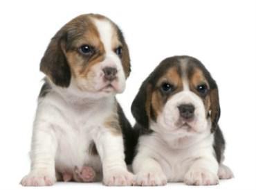 How Much A Beagle Puppy