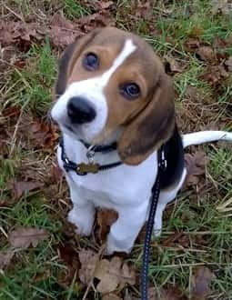 young-beagle-puppy-outside