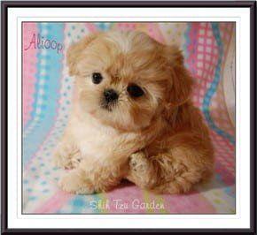 Shih Tzu Puppy Breeders