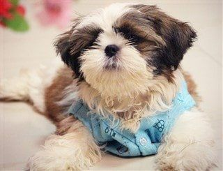 Shih Tzu House Training Step By