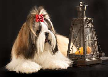 Imperial Tea Cup Shih Tzu Weight