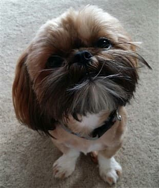 Shih Tzu Behavior Puppies And Dogs
