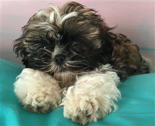 Shih Tzu Informaton Center Puppy Care