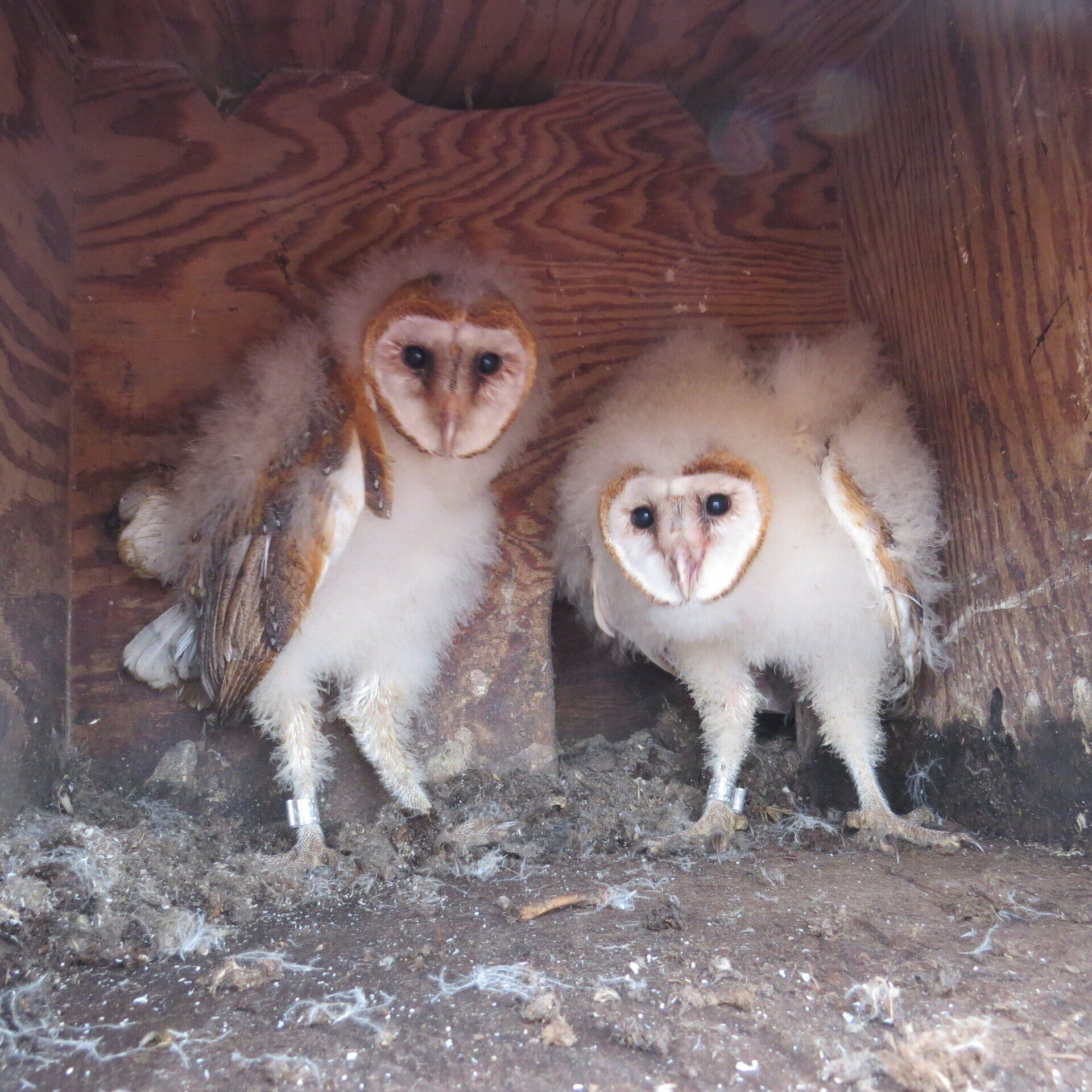 Barn Owl Research Maria Mitchell Association