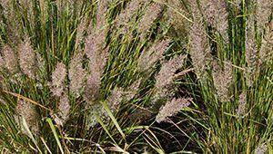 Landscape grasses